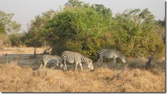 2011_10_14 Zebras (5)