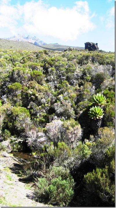 Kilimanjaro Plant Life (37)