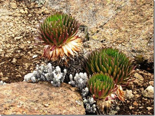 Kilimanjaro Plant Life (44)