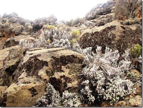 Kilimanjaro Plant Life (45)