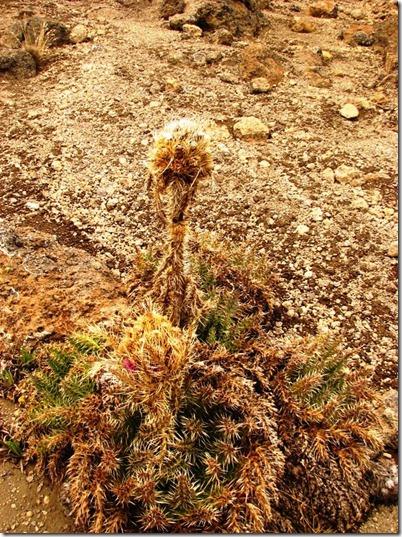 Kilimanjaro Plant Life (46)