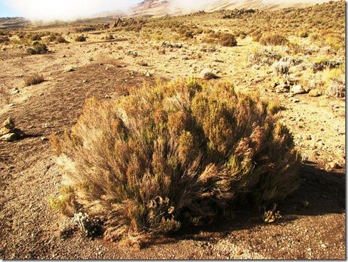 Kilimanjaro Plant Life (48)