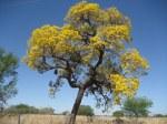 Blooming jacaranda (lapacho) tree, Paraguay
