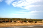 Cattle herd in Paraguay's Chaco