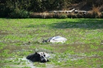 Hippos and crocs in South Luangwa National Park, Zambia