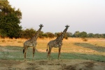Giraffes in South Luangwa National Park, Zambia
