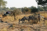 Zebras in South Luangwa National Park, Zambia