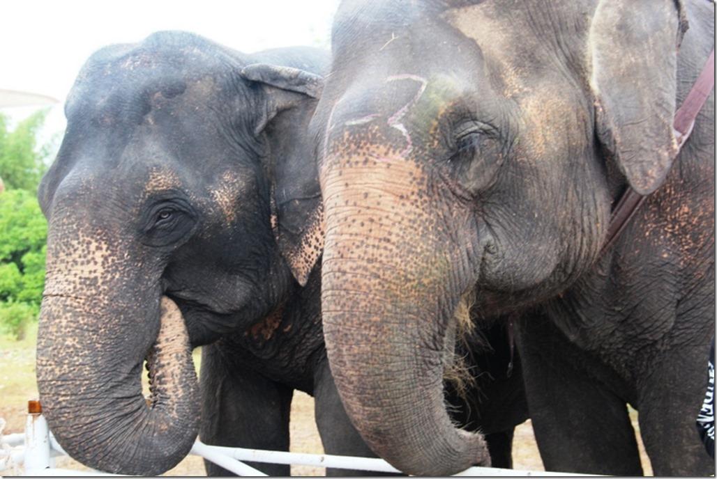 2012_09_06 Thailand Hua Hin Elephant Polo (6)